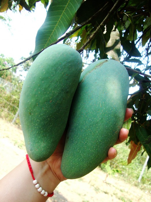 Green Mangoes from our garden